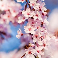 Ipad Background Free Ipad Wallpaper Cherry Blossoms Cherry Blossoms