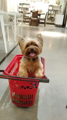 """See our website for more info on """"Yorkshire terriers"""". It is actually an excellent location for more information. Yorkshire Terrier Haircut, Yorkshire Terrier Puppies, Rottweiler, Puppies For Sale, Dogs And Puppies, Cutest Puppy Ever, Bulldog Breeds, Fred, Silky Terrier"""