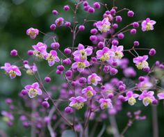 Meadow Rue ~ who knew? Thalictrum Rochebrunianum. Lacy, refined, bluish-green foliage with airy clusters of lavender flowers and conspicuous soft-yellow centers, on gorgeous sturdy purple stems. Adding elegant vertical lines to your garden, and clouds of rosy-lavender blooms. Blooms later than other Meadow Rues, from mid to late summer, and longer-up to 6 weeks. Full sun/part shade (this always confuses me). Easy to grow :) Deer and rabbit tolerant. May need staking.