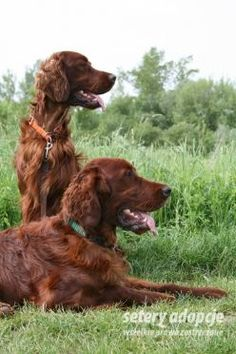 Irish setter/ seter irlandzki mahoniowy - Setery adopcje