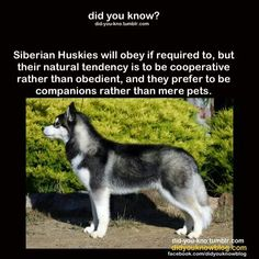 Wonderful All About The Siberian Husky Ideas. Prodigious All About The Siberian Husky Ideas. Alaskan Husky, Siberian Husky Dog, Alaskan Malamute, Husky Puppy, Corgi Puppies, Malamute Vs Husky, Beautiful Dogs, Animals Beautiful, Husky Tumblr