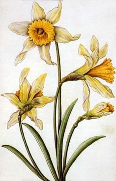 Narcissus pseudonarcissus, commonly known as wild daffodil, this one by Antoine du Pinet, Sieur de Norroy (c. 1515-1584). It was included in an album to celebrate Louise of Lorraine's arrival in France to marry Henri III.