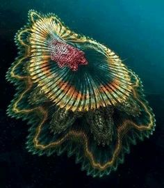 "Exhibit A. Previous pinner: Spanish Dancer Jellyfish. Me: I had to relocate this from my ""Jellyfish, Anemones, Sponges"" board when I found out that this is merely a work of art, a fractal. (Although it doesn't resemble what I usually think of as a fractal. Whatevs.)"