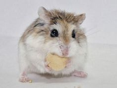 Information About Winter White Dwarf Hamster