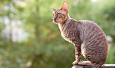 here's been a vicious rumor circulating for decades that cats are not affectionate. This simply is not so. Don't believe us? Read what feline experts and fanciers claim are the 9 most affectionate cat breeds.