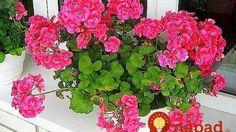 Pestovateľka s nakrajšími muškátmi v okolí prezradila svoj trik: Stačí kvapka tejto látky a budú doslova obsypané kvetmi! Garden Plants, Beautiful Gardens, Flowers, Garden Containers, Orchids, Pelargonium, Plants, Geraniums, Diy Roses
