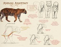 Animal_Anatomy___Cats_Part_1_by_akeli.jpg (1400×1082)