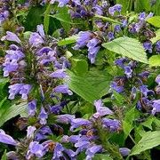Summer flowering bee friendly plant. Click image to learn more and to add to your own plant list in Shoot. Botanical name: Nepeta subsessilis    Other names: Catmint, Catnip    Genus: Nepeta    Variety or cultivar: N. subsessilis is a clump forming, herbaceous perennial that has dark green, strongly aromatic foliage and bright blue flowers that whirl up the stems in mid summer until autumn.