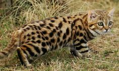 black-footed cat is the smallest African cat, and is endemic in the south west arid zone of the southern African subregion I Love Cats, Big Cats, Cool Cats, African Cats, African Animals, Rusty Spotted Cat, Black Footed Cat, Animals And Pets, Cute Animals
