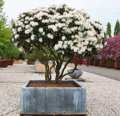 backyard design – Gardening Tips Gravel Garden, Garden Shrubs, Shade Garden, Rhododendron, Tree Planters, The Masterpiece, White Gardens, Trees To Plant, Gardens