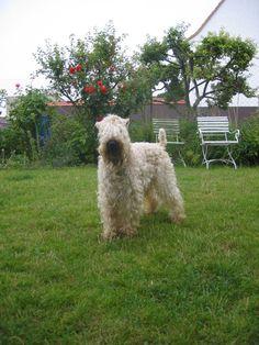 Monthy - Irish Soft Coated Wheaten Terrier, Pfalz, Deutschland