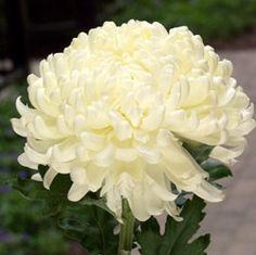 fuji mums flowers | ... Chrysanthemum,Pompon Chrysanthemum,Spider Mums,Fuji Mums,Daisy Mums