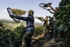 kahve üretimi 1