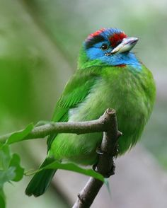 The Blue-throated Barbet (Megalaima asiatica) is an Asian barbet, seen across the Indian Subcontinent and Southeast Asia. Barbets and toucans are a group of near passerine birds with a world-wide tropical distribution. The barbets get their name from the bristles which fringe their heavy bills; this species eats fruits and insects.