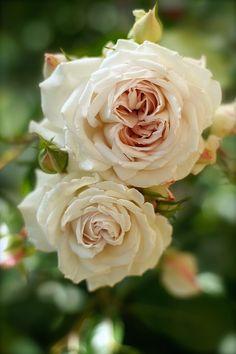 Shrub Rose: Rosa 'Milady de Winter' (Japan, 2014)