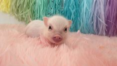 Rainbow piggy Baby pig swims in a sea of pink fur! Rainbow piggy Baby pig swims in a sea of pink fu Cute Baby Pigs, Baby Piglets, Cute Piglets, Baby Animals Super Cute, Cute Little Animals, Cute Funny Animals, Baby Animals Pictures, Cute Animal Videos, Cute Animal Pictures