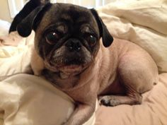 #pug #cute #puppy #dog #boneybear