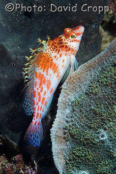 ˚Coral Hawkfish Marine Fish, Sea Fish, Sea World, Beautiful Creatures, Animals, Animales, Animaux, Animal, Animais