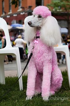 Isis - The Pink Poodle at Woofstock 2010 wants to be part of the domestic animal petting zoo. Isn't she precious? Pink Poodle, Poodle Grooming, Pet Grooming, Grooming Salon, French Poodles, Standard Poodles, Pet Dogs, Dog Cat, Doggies