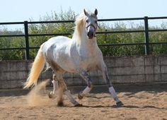 Andalusian - photos - equestrian.ru