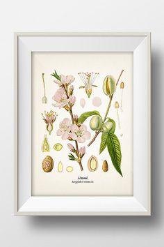 Vintage Almond Print - KO-18 - Fine art print of a vintage natural history antique illustration