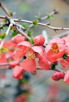 quince blossoms | photo by Ez Pudewa (that's me)