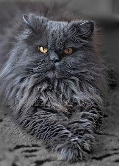 grey persian cat <3