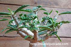 Euphorbia capsaintemariensis ユーフォルビア・カプサインテマリエンシス