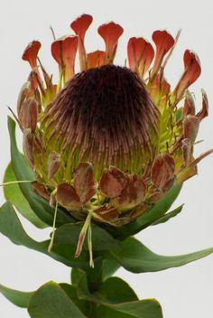 Protea Latifolia