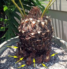 Green thumbing Brad's Tropical Paradise: Rooting sago palm pups for more plants Seating Buying Guide Orchids Garden, Garden Plants, Sago Palm Care, Palm Trees Landscaping, Yard Landscaping, Landscaping Ideas, Tropical House Plants, Tropical Gardens, Florida Plants