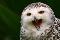 Snowy owl by Esther Pupung on 500px