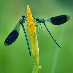 Damselflies By: Jim Hoffman