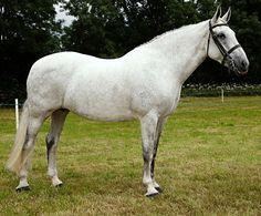 RID, Registered Irish Draught, mare Ben's Daughter.