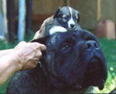 Boys-Old English Mastiff Dogs Top Pedigree Puppies Mastiff Puppies For Sale, Mastiff Dogs, Old English Mastiffs, French Bulldog, Boys, Animals, Baby Boys, Animales, Animaux
