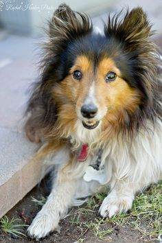 Happy when dirty Sheltie! :) Mine love to roll in fresh cow patties! Then want to come inside w/o a bath! Ugh!