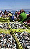 O Palhetas na Foz: Sardinha e Biqueirão apreendidos no porto de pesca...