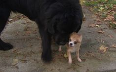 Protective Chihuahua Saves Newfie Best Friend From Dognapper