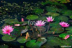 """Pobierz zdjęcie royalty free  """"Pink Lotus"""" autorstwa worradirek w najniższej cenie na Fotolia.com. Przeglądaj naszą bazę tanich obrazów online i odnajdź doskonałe zdjęcie stockowe do Twoich projektów reklamowych!"""