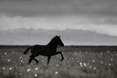 Trotting in the field (Iceland Herd 4) | Flickr - Photo Sharing!