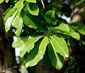 Cannonball flower tree leaves