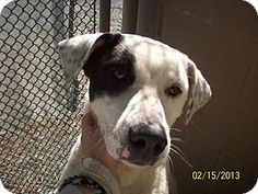 #NCAROLINA #URGENT ~ Lover Boy ID 19161382 is an #adoptable Pointer Labrador Retriever mix dog in #Rockingham - Can you help this sweet speckled #pup connect the dots to his new loving home ? Act QUICKLY to #adopt as pets are held only a short time at the HUMANE SOCIETY of RICHMOND COUNTY  529 US Hwy 74 Business West   #Rockingham NC   28379 hsrc@carolina.rr.com   Ph 910-895-0335