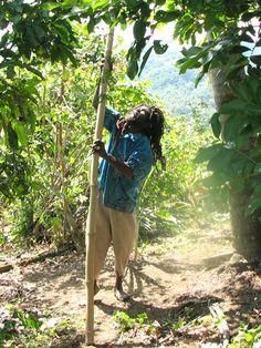 Rasta fruit picking | Jamaica