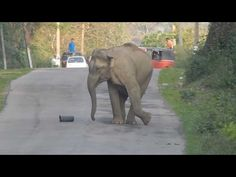 Adorable Baby Elephant Blocks Traffic So It Can Master Its Soccer Skills