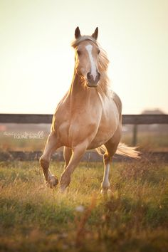 Criollo Rubio by equine-images on deviantART