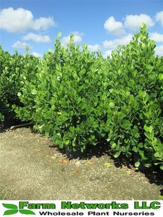 15 gallon clusia   Your premier grower of tropical plants, We deliver