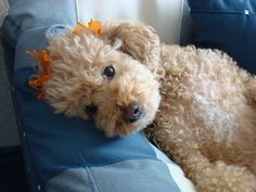 The truths that only poodle owners know and understand #Poodles