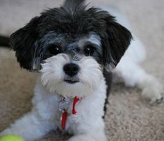 All the things we all love about the Smart Shih Tzu Puppy Cute Puppies, Dogs And Puppies, Cute Dogs, Doggies, Teacup Puppies, Shipoo Puppies, Bichon Havanais, Havanese, Maltipoo