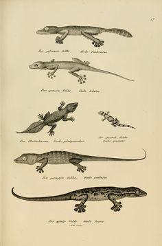 H.R. Schinz | Naturgeschichte und Abbildungen der Reptilien (1833)
