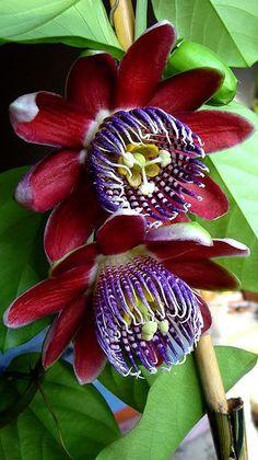 Passiflora alata Passion Flower | Fresh Herbs | Herbalism | Nature Photography