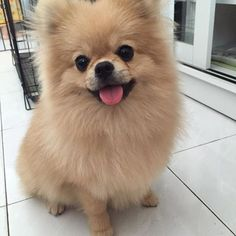 <p><strong>2. Pomeranian</strong></p> Also conveniently travel-sized, Poms cut back on airplane travel fees and fit nicely with you in the cabin. Those little legs carry them far, as they--just like many toy breeds--are active, confident, and prepared for anything.